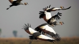 Crowned Cranes flying above an open grassland in Africa. Photo credit Kenneth Cole.